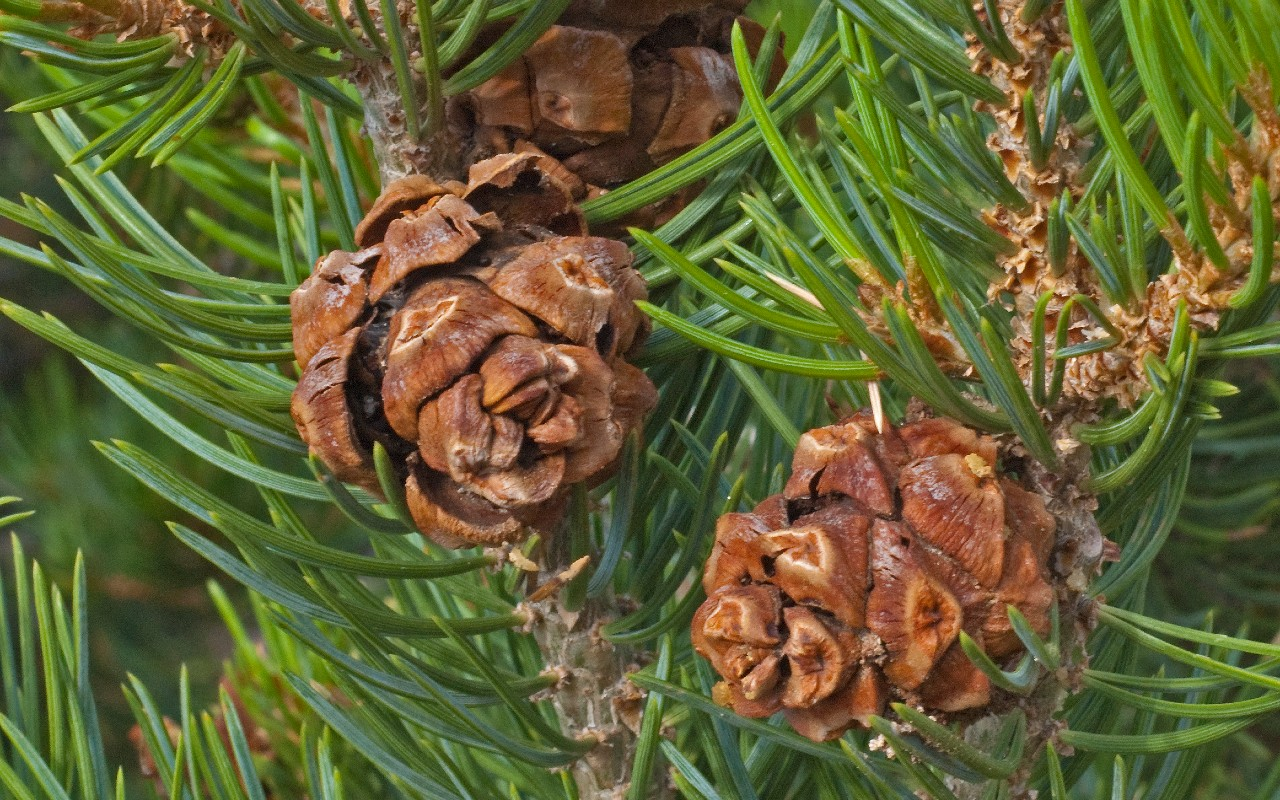 Two-Needle Pinyon Pine (Pinus edulis, Colorado pinyon)