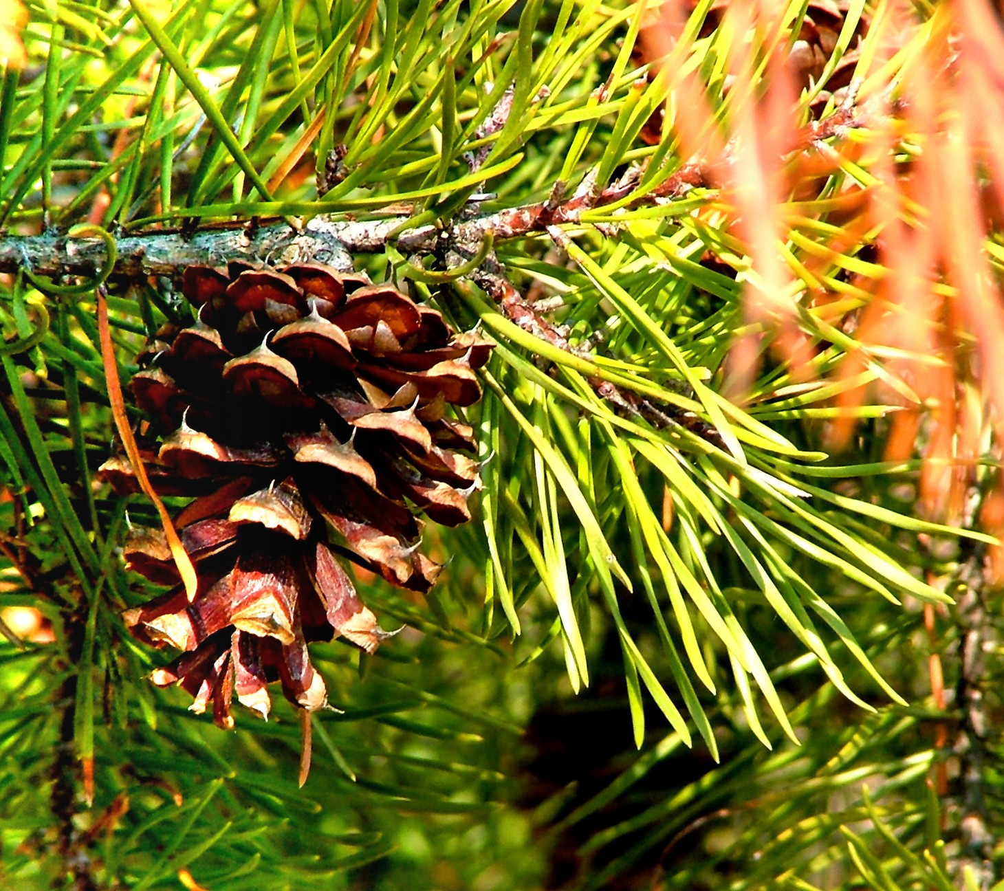 Virginia Pine (Pinus virginiana)