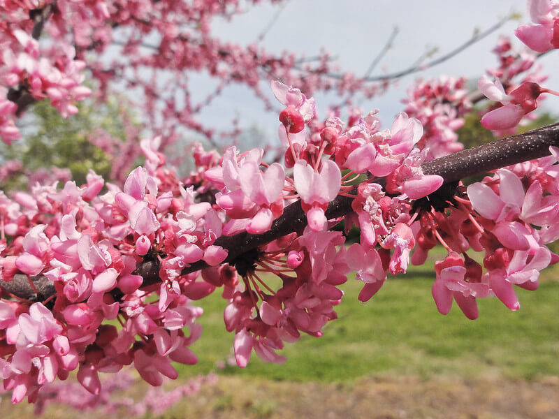 Tennessee Pink (Cercis canadensis 'Tennessee Pink')