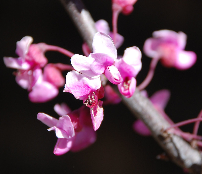 Forest Pansy (Cercis canadensis 'Forest Pansy')