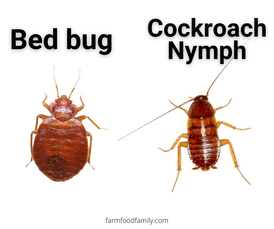 Bed bugs vs Cockroach Nymphs (Baby cockroaches)
