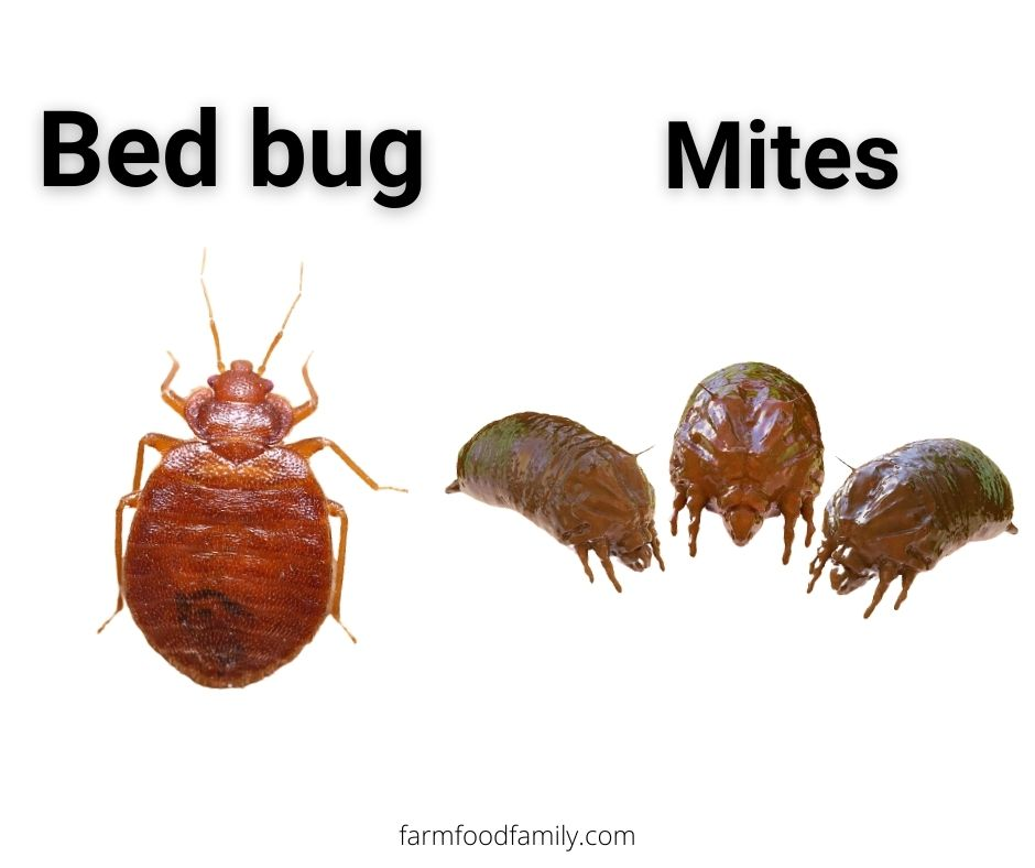 Bed bugs vs Mites