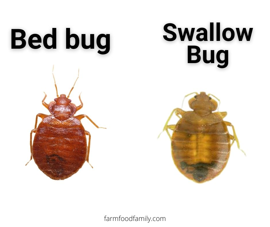 Bed bugs vs Swallow Bugs